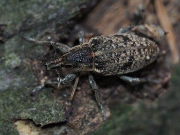 A.punctiventris