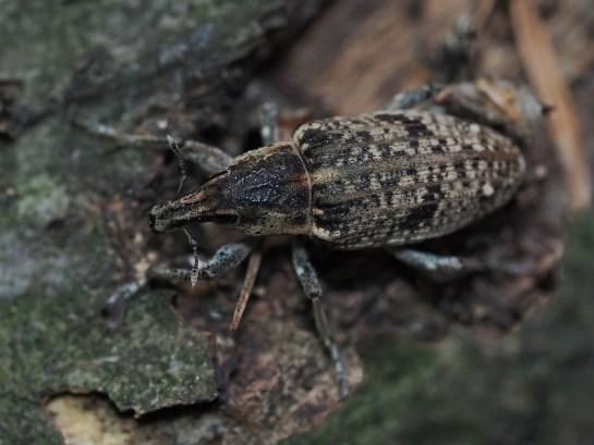 A.punctiventris