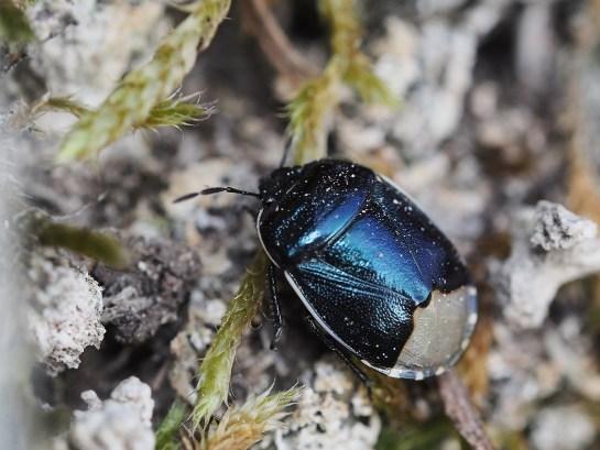 C.impressus