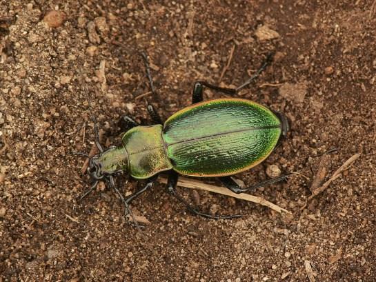 C.obsoletus