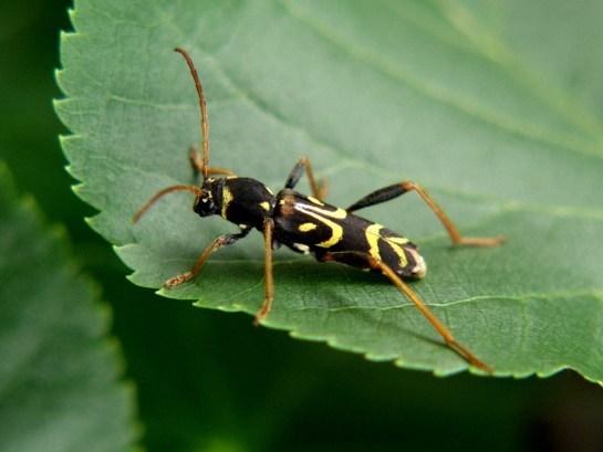 C.tropicus