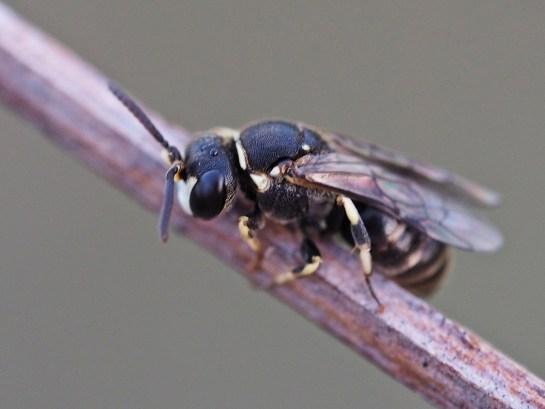 H.variegatus male