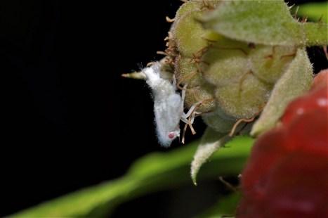 M.pruinosa nymph