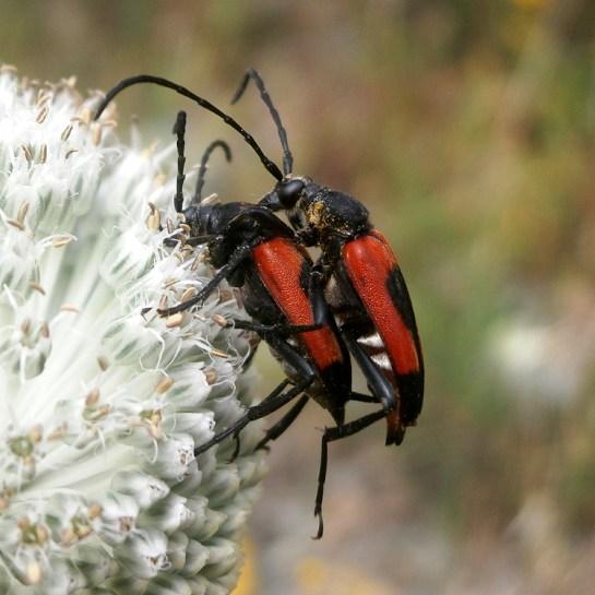 S.cordigera mating