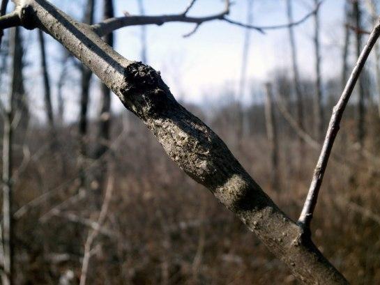 Saperda populnea - entomocecidium
