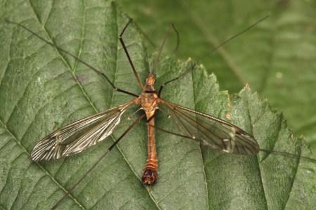 T.fascipennis
