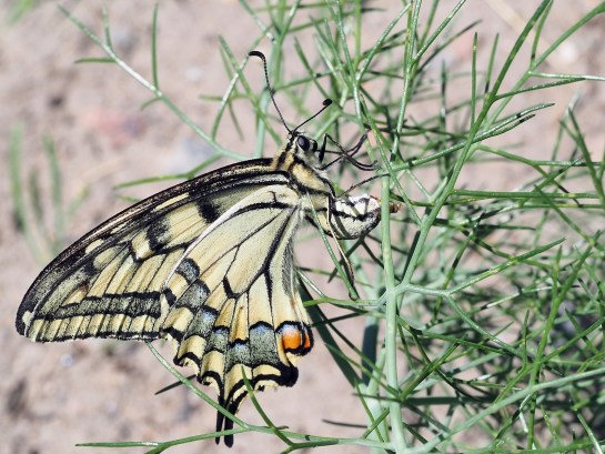 P.machaon
