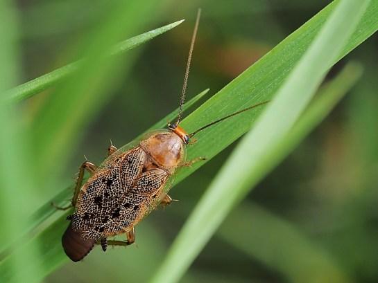 Ect. lapponicus