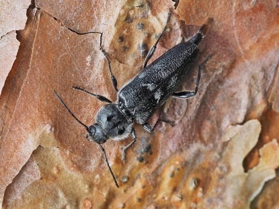 H.bajulus female