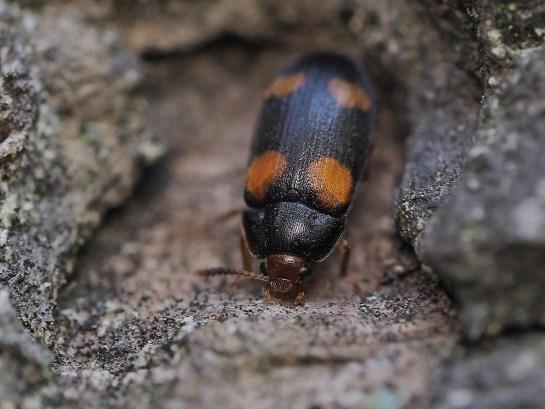 M.quadripustulatus