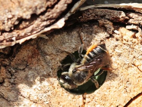 M.versicolor