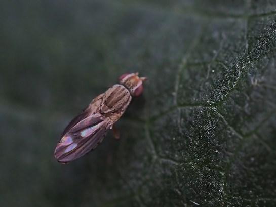T.marginela