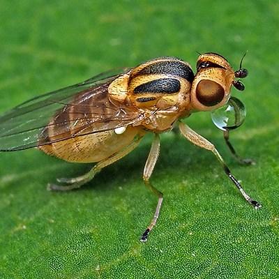 Thaumatomyia notata - Rojówka żółta