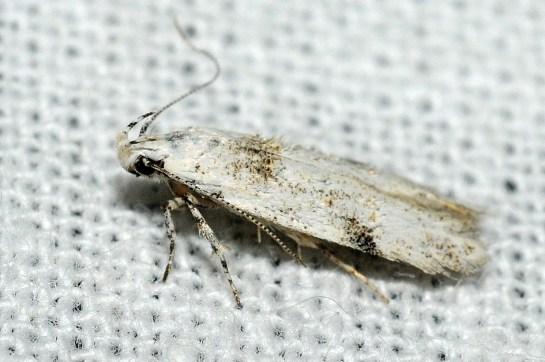 C.alburnella