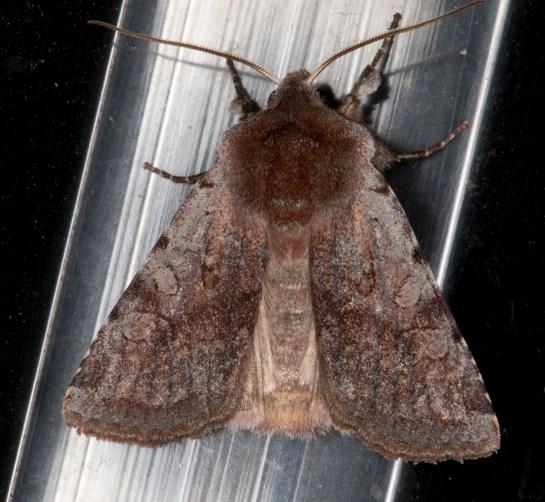C.rubricosa