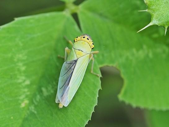 C.viridis