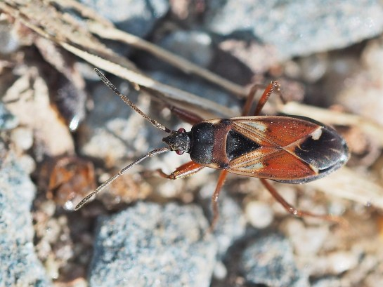 E.abietis