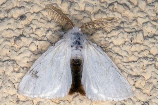 E.chrysorrhoea