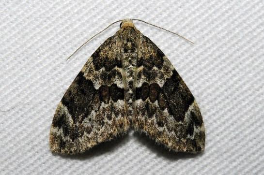 E.corylata