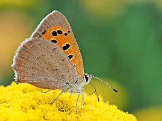 L.phlaeas