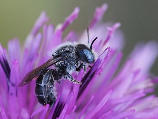 O.spinulosa male