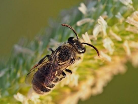 R.canus