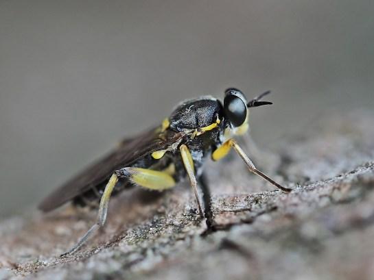 S.marginata
