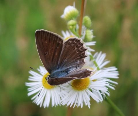 P.daphnis