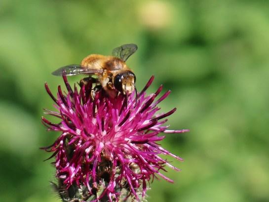 A.bimaculata