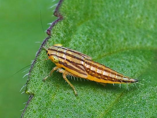 C.viridis nymph