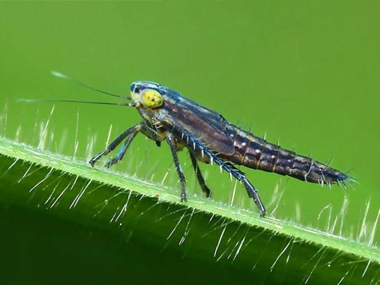 Cicadella nymph