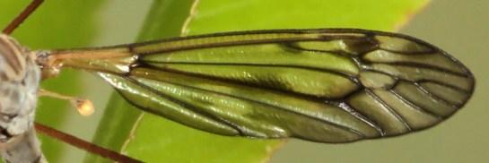 T.varipennis wing