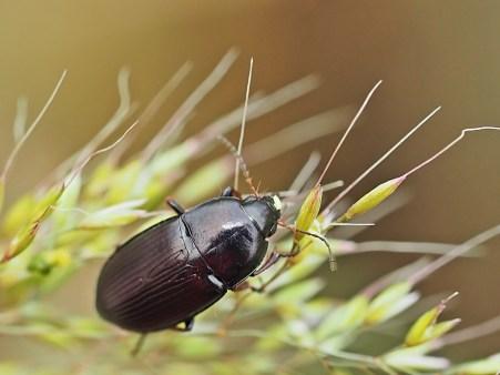 Z.tenebrioides