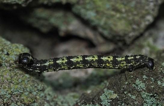 Agr.leucophaearia