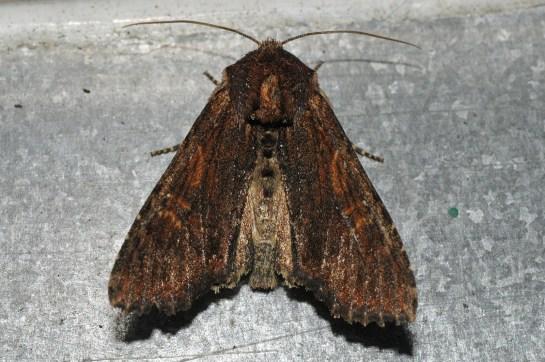 Ap.crenata