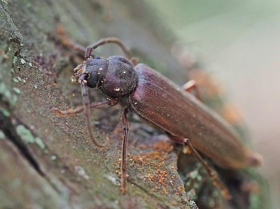 Ar.rusticus