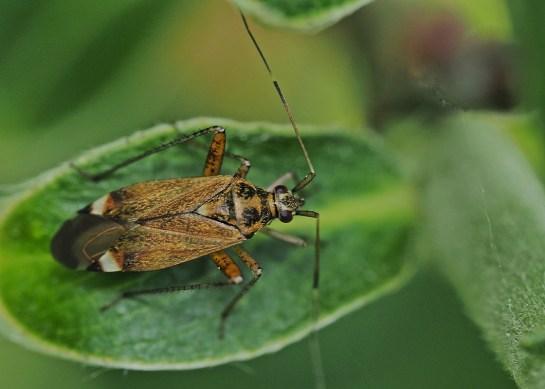 C.fulvomaculatus