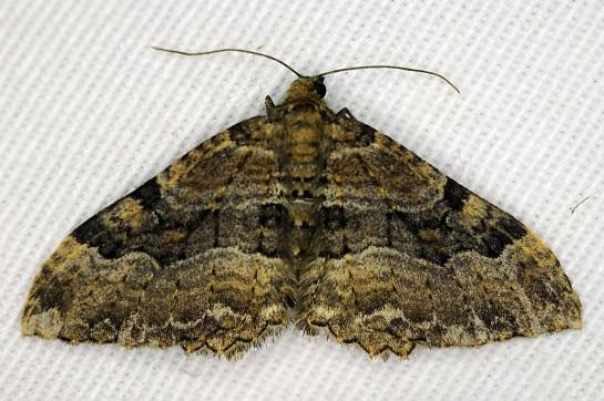 H.cervinalis