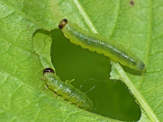 N.spiraeae larva