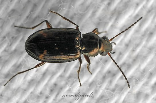b.obliquum