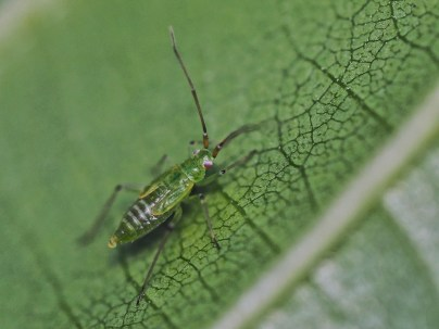 bl.angulatus