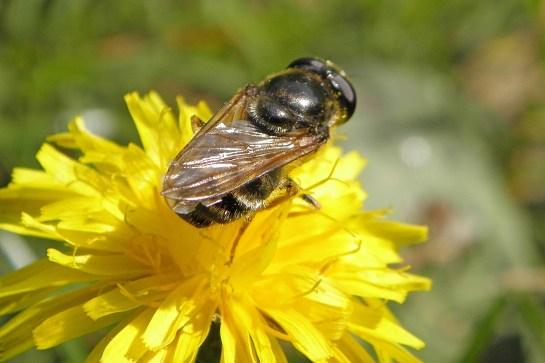 C.canicularis
