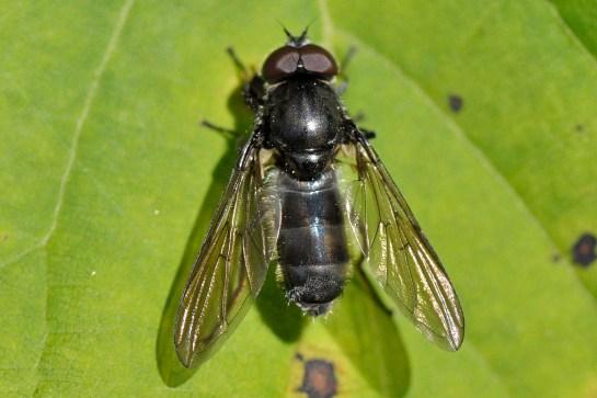 ch.variabilis