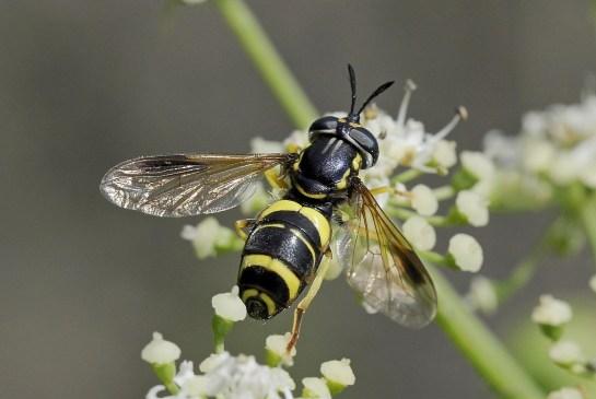 chrys. bicinctum