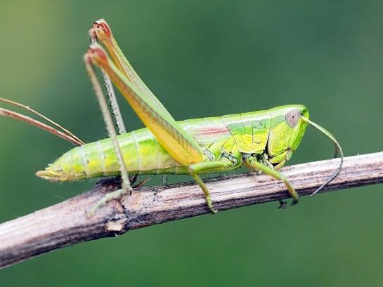e.brachyptera