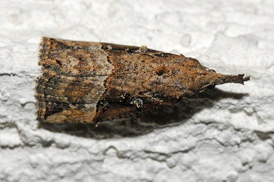 h.rostralis