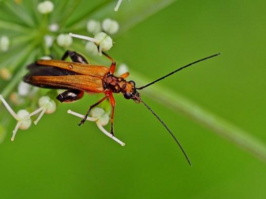oed.podagrariae