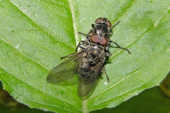 P.maculata mating