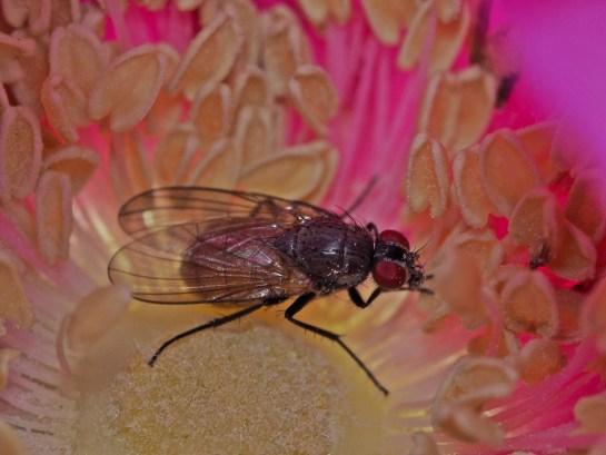 t.semicinereus