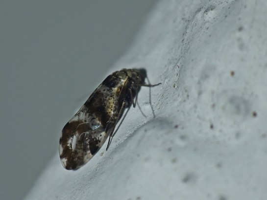 L.fasciata